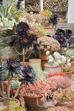 Dry Gardens in England (9 of 21) | Aeoniums and succulents at Beth Chatto Gardens, Essex, UK | Flickr - Photo Sharing!