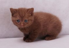 The British Shorthair is the pedigreed version of the traditional British domestic cat, with a distinctively chunky body, plush coat and broad face. Description from imgarcade.com. I searched for this on bing.com/images