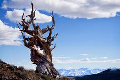 Ancient Bristlecone Pine in the Inyo National Forest CA with the snow capped Sierra Nevada mountain range in the background [OC] [6000 x 4000]   landscape Nature Photos