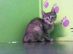 8/5/16 Just a kitty! MOON - URGENT - BARC Animal Shelter in Houston, Texas - ADOPT OR FOSTER - 15 WEEK OLD Spayed Female Domestic SH Mix - at shelter since June 22, 2016
