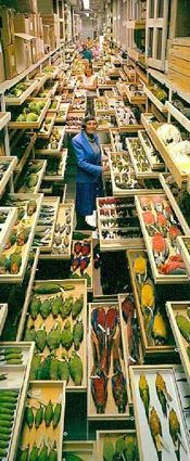 Feather identification expert Roxie Laybourne, amidst a portion of NMNH's bird collection. Photo by Chip Clark. Smithsonian National Museum of Natural History.
