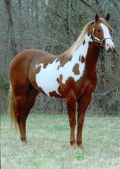 Beautiful red and white Paint Horse