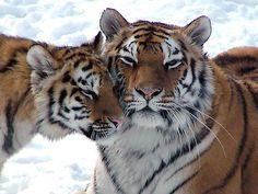 Tiger, Tiger | Flickr - Photo Sharing!