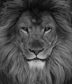 Lion Fort Worth Zoo | m.sadarangani | Flickr