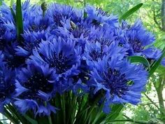 Photo of cornflower for fans of Flowers 22283221 Spring Flowers, Blue Flowers, Wild Flowers, Blooming Flowers, Nature Images, Nature Photos, Green To Blue, Wonderful Flowers, Gerbera