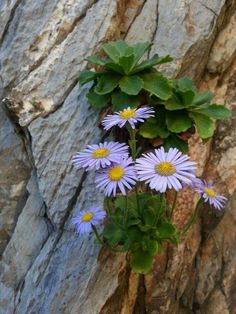 Image may contain: plant, outdoor and nature Rock Flowers, Flowers Nature, Small Flowers, Wild Flowers, Alpine Flowers, Alpine Plants, Amazing Flowers, Purple Flowers, Beautiful Flowers