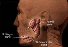 The parotid gland      This is the largest of the salivary glands,   lying wedged between the mandible and sternocleidomastoi...