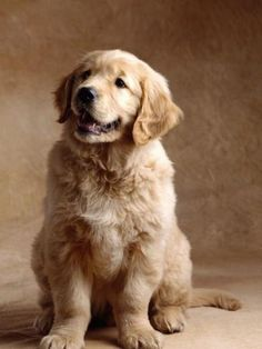 Golden Retriever #golden #goldenretriever
