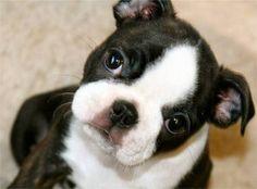 Boston Terrier Pup.kisses lil pup