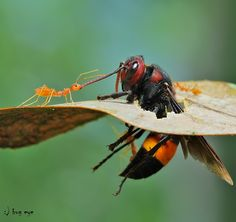 Come with me ! by bug eye :), via 500px; Red ant