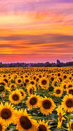 Sunflowers field sunset Iphone Wallpapers Hd - Best Home Design Ideas Iphone Wallpaper Scenery, Beautiful Scenery Wallpaper, Sunflower Iphone Wallpaper, Field Wallpaper, Sunset Wallpaper, Cute Wallpaper Backgrounds, Iphone Wallpapers, Aesthetic Iphone Wallpaper, Nature Wallpaper