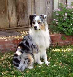 Australian shepherd border collie mix    We just added this (she's 4mths now) to the family collection.