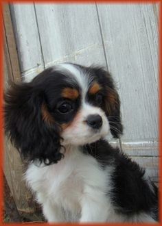Parker as a puppy  Cavalier King Charles Spaniel