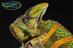 Veiled chameleon | Veiled Chameleon - Adult Male