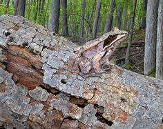 Wood Frog in Hogback Woods, 8 x 10, acrylic
