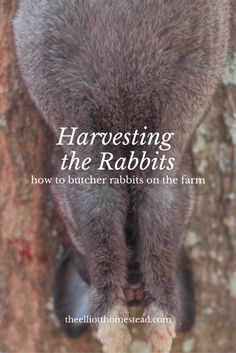 Harvesting the Rabbits (how to butcher rabbits on the farm) www.theelliotthomestead.com