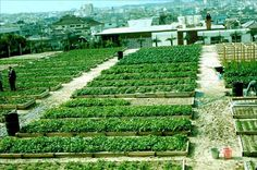 A cement parking lot converted to maximum food yield in Okinawa using the Mittleider Gardening method. (Photo courtesy of Food for Everyone.org