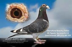 pigeon voyageur - Bing Images Pet Pigeon, Pigeon Loft, Dove Pigeon, Pigeon Books, Homing Pigeons, Best Stocks, Black Diamond, Animals And Pets, Racing