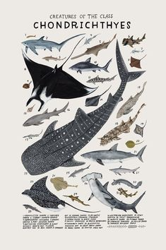 Creatures of the class Chondrichthyes- vintage inspired science poster by Kelsey Oseid Check out my collection and request something personal here at http://www.artgallery.network