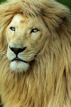Lion: one of the  most magnificent animals...