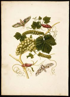 Maria Sibylla Merian Metamorphosis insectorum surinamensium [Transformations of the insects of Surinam] , Image Botanical Illustration, Botanical Prints, Sibylla Merian, Free Prints, Butterfly Print, Science And Nature, Natural History, Colorful Flowers, Grape Vines