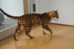 Toyger Cats For Adoption | for adoption in shelters but still that tiger cat sure is purrr dy