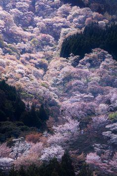 Cherry tree in full bloom,Yoshino, Nara, Japan. 奈良、吉野山の千本桜。下千本、中千本、上千本と順に桜が咲き、1か月近く桜が見れます。