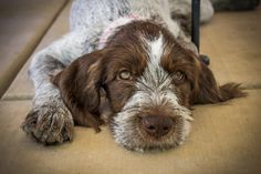 Bella, a 12 week old German Wirehaired Pointer.