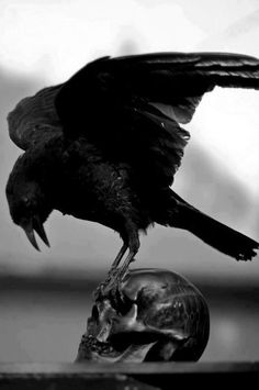 Poes raven on scull (crow? Bird Skull, Skull Art, Crow Skull, Rabe Tattoo, Quoth The Raven, The Ancient Magus, Raven Art, Jackdaw, Crows Ravens