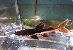 Red Tail Tiger Shovelnose Catfish for Freshwater Aquarium Fish