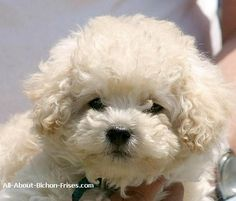 Bichon Frise Puppies -- adorable THIS IS EXACTLY WHAT MAGIC LOOKED LIKE WHEN HE WAS BORN ....