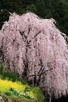 川井峠のしだれ桜 (吉野川・阿波・脇町) - 旅行のクチコミサイト フォートラベル