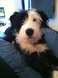6 months old - Irish wolfhound and Border Collie mix :) ... what should we call the mix, a border hound? So cute!!