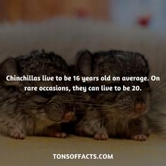 Chinchillas live to be 16 years old on average. On rare occasions, they can live to be Lion Facts, Tiger Facts, Cat Facts, Weird Facts, Dolphin Facts, Whale Facts, Dinosaur Facts, Fun Facts About Animals, Animal Facts