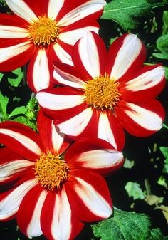 UNION JACK, 1882  This candy-cane striped dahlia is one of the world's oldest, according to the late Gerry Weland of the ADS who compiled a database of 50,000 dahlias dating back to the early 1800s. Also known as 'Star of Denmark', it's bright and cheery, with pinwheel-like flowers of red and white.
