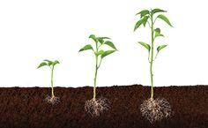 Todas las semillas necesitan agua, oxígeno, y una temperatura apropiada para germinar. Algunas semillas también requieren luz apropiada. Algunas germinan mejor con luz total mientras que otras requieren oscuridad para germinar. 28/04/2015 Estela Villa