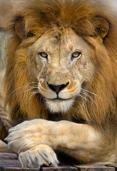 Lion by Adam Baron - Photo 7606143 - Lion Images, Lion Pictures, Animal Pictures, Nature Animals, Animals And Pets, Cute Animals, Wild Animals, Baby Animals, Beautiful Lion