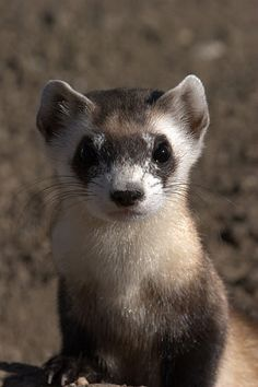 The black-footed ferret is losing grassland habitat!