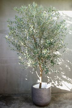Olive trees in large concrete pots- around front porch