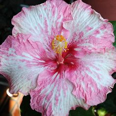 Hibiscus: 'Think Pink'