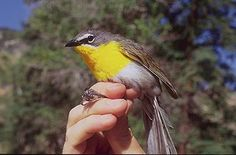 Common Name: YELLOW-BREASTED CHAT,  Scientific Name: ICTERIA VIRENS