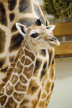 Giraffe Baby - Seattle's Woodland Park Zoo