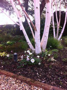 how to grow silver birch Fence Trees, Birch Trees, Backyard Ideas, Seeds, Garden, Plants, Blog, Silver, Garten