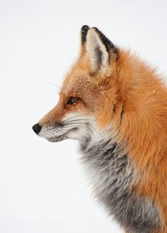 Fox by Alfred Forns