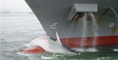 Een containerschip is woensdagochtend met een dode walvis op een uitsteeksel van de boeg de haven van Rotterdam binnengevaren. Het havenbedrijf schat de lengte van het dier op twaalf meter. De walvis is nog tamelijk intact.