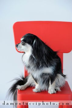 dog in red chair
