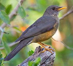 Olive Thrush is found in the East African Highlands from Tanzania and Zimbabwe to the Cape of Good Hope Backyard Birds, Garden Birds, South African Birds, Wild Photography, Natural Garden, Colorful Birds, Little Birds, East Africa, Wild Birds