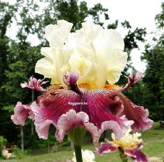 "Tall Bearded ""FLORENCE DAYTON"" Iris Perennial Plant RED ROSE WINE '02"