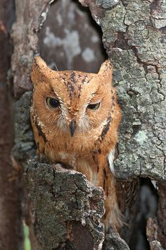 Rainforest Scops/Malagasy/Madagascar Owl, Strigidae family: a large part of E Madagascar: photo: Bob Lewis Beautiful Owl, Animals Beautiful, Cute Animals, Nocturnal Birds, Mystery, Owl Photos, Mundo Animal, Birds Of Prey, Bird Feathers