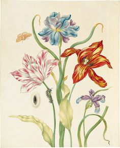 Johanna Helena Herolt (c. daughter of Maria Sibylla Merian, often lived in her mother's shadow, but she had a vibrant style all her own, seen in Two Tulips and Two Irises. Learn more about her and other women of botanical art. Vintage Botanical Prints, Botanical Drawings, Botanical Flowers, Botanical Art, Sibylla Merian, Victoria Magazine, Garden Of Earthly Delights, Learn To Paint, Illustrations And Posters